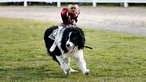 Baby Monkey Riding On A Dog sheep dog-riding monkeys