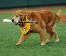 Derby retrieving a bat